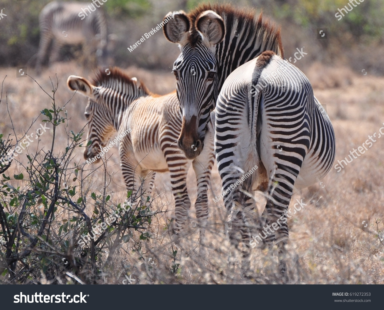 Grévy's Zebras in Kenya