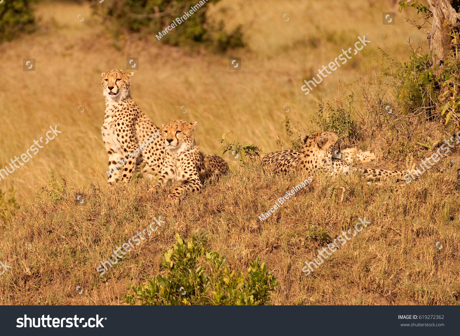 Cheetah family in Kenya