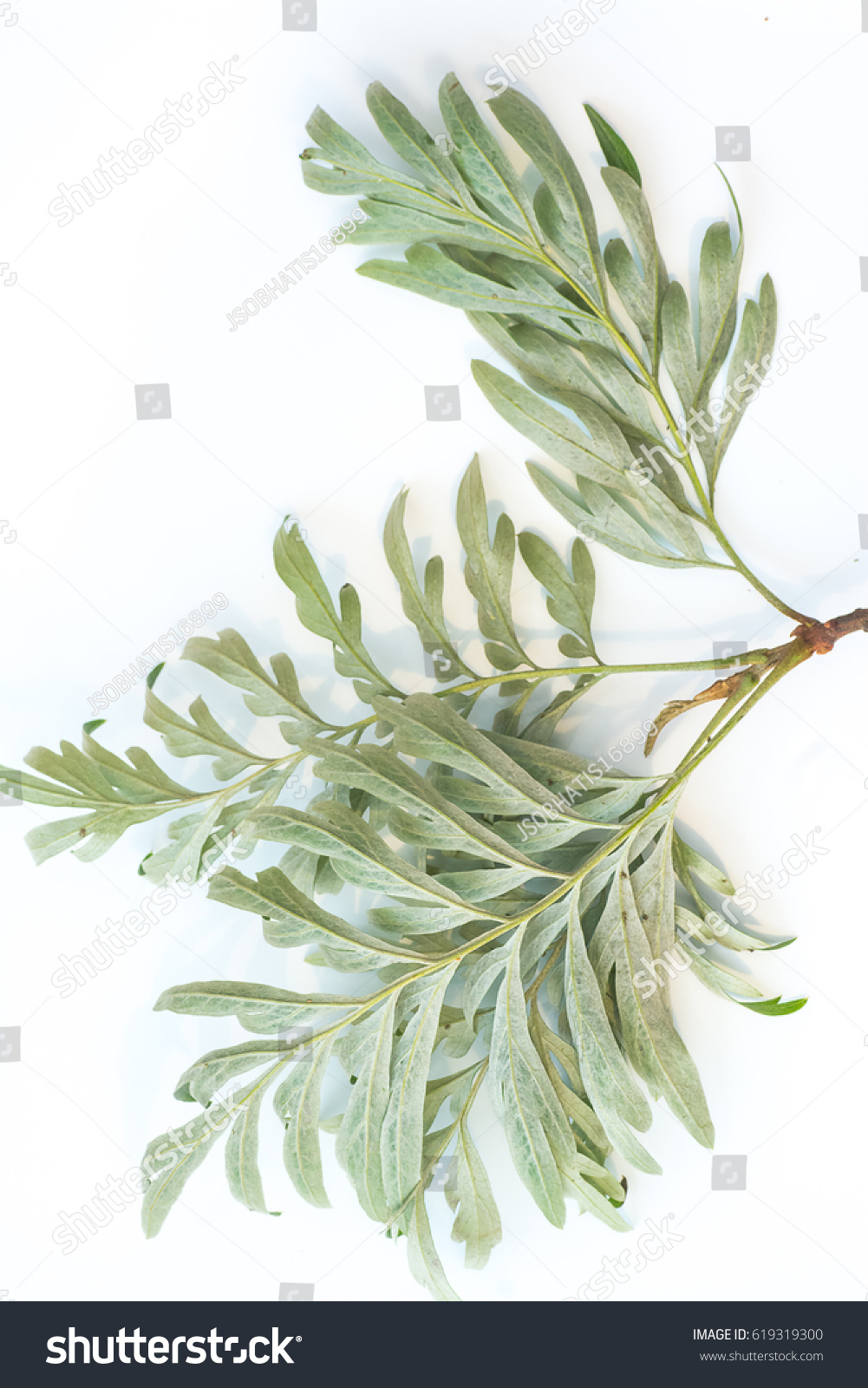 Golden Yellow Flowers Of Silky Oak Plant Grevillea Plant Ez Canvas