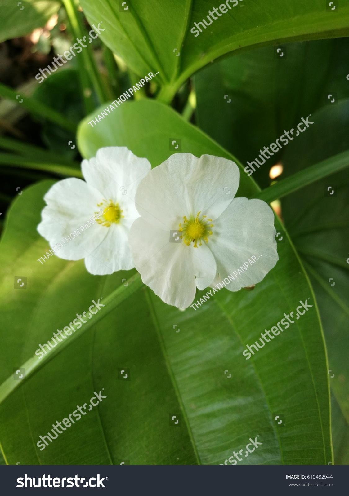White flowers name cyperaceae stock photo edit now 619482944 white flowers its name cyperaceae mightylinksfo