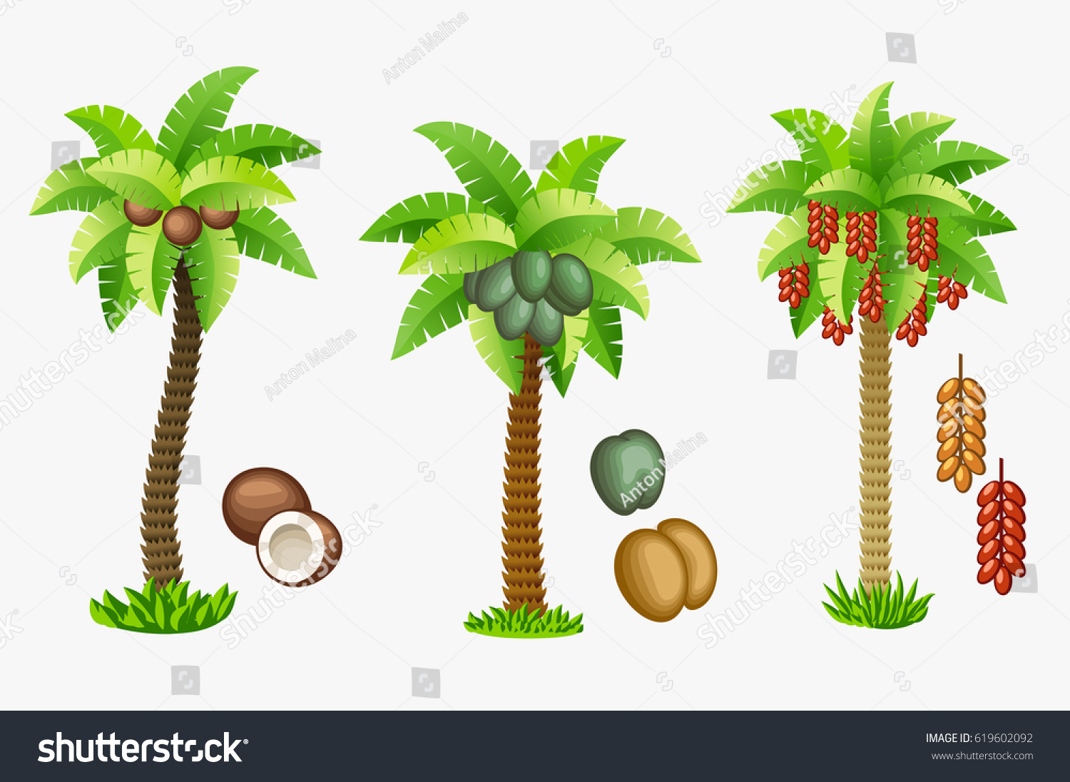 coconut palm nuts seychelles double coconut stock vector 619602092