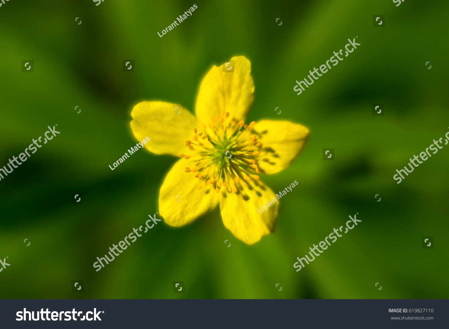Yellow Flower In The Center Wild Yellow Flower Blooming Soft