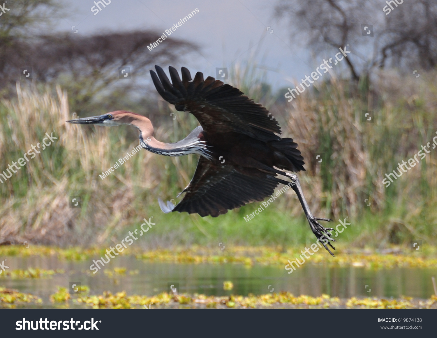 Goliath heron taking off 4