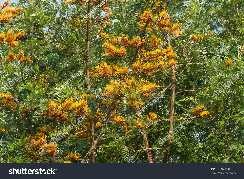 Beautiful Golden Yellow Flowers Tree Silky Stock Photo Edit Now