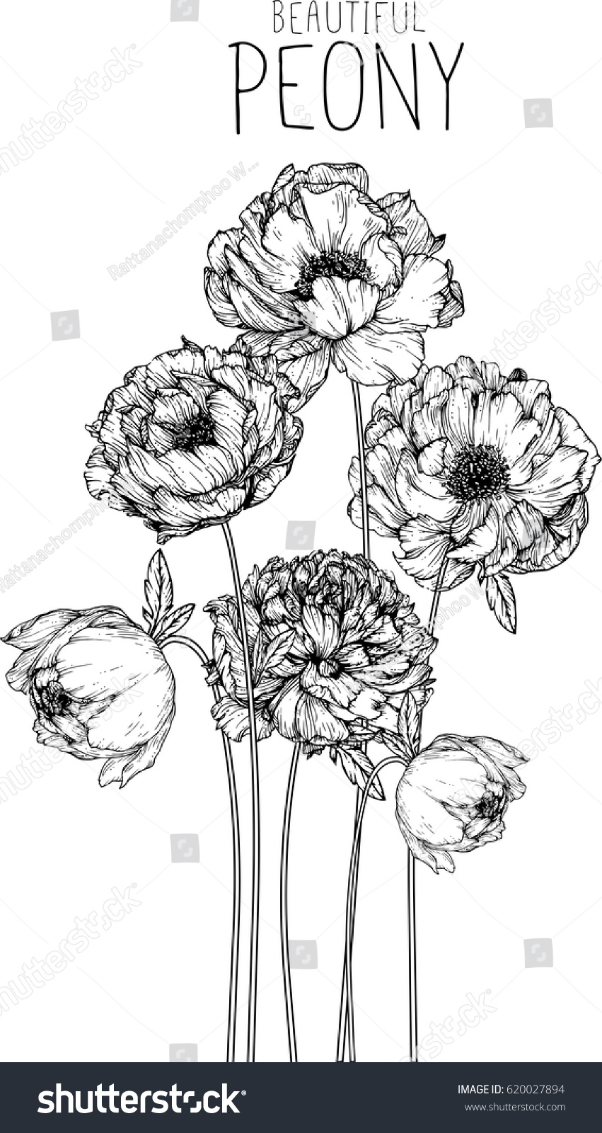 Peony Flower Line Drawing : Peony flowers drawing vector illustration line stock
