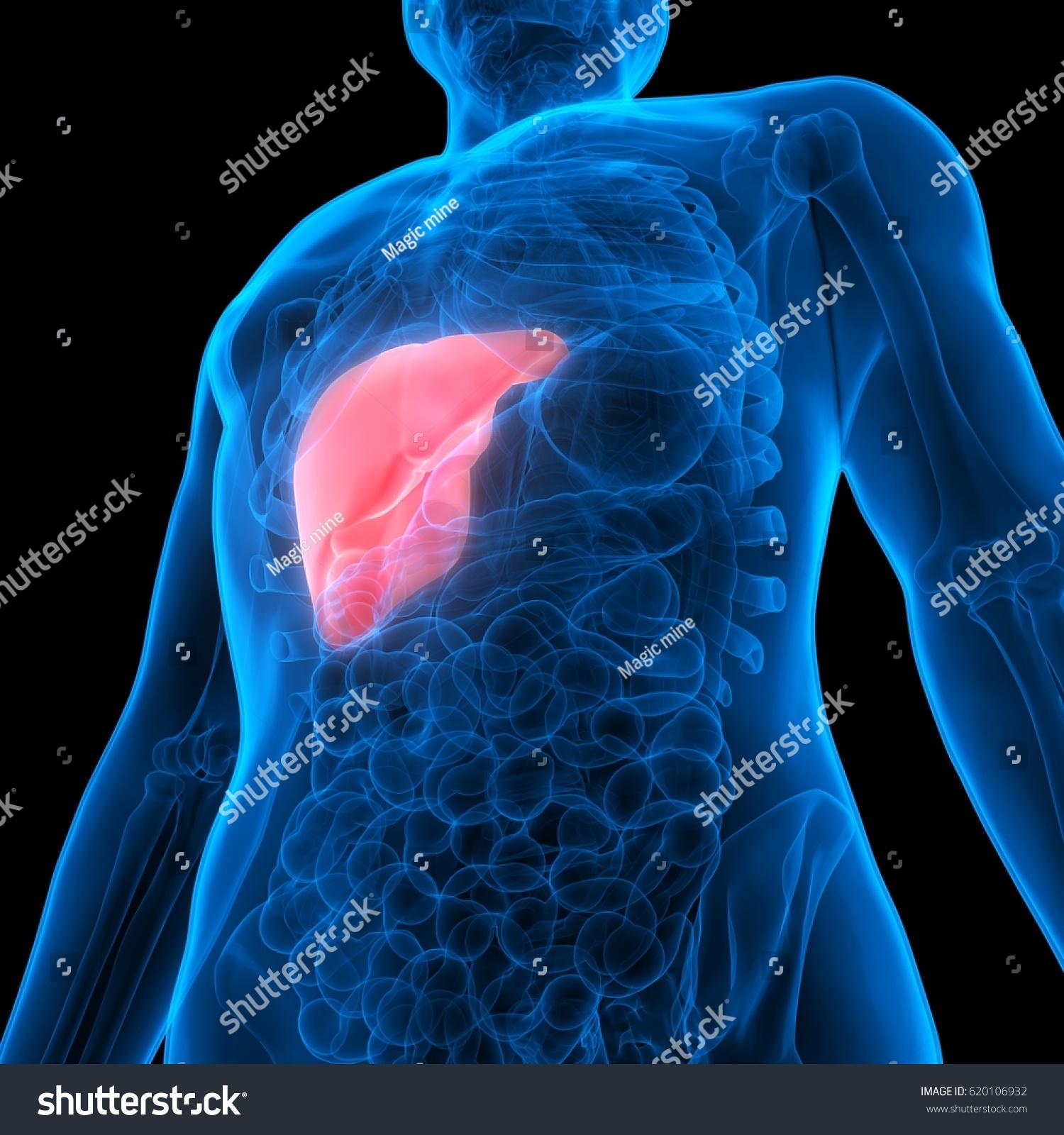 Human Body Organs Anatomy Liver 3d Ez Canvas