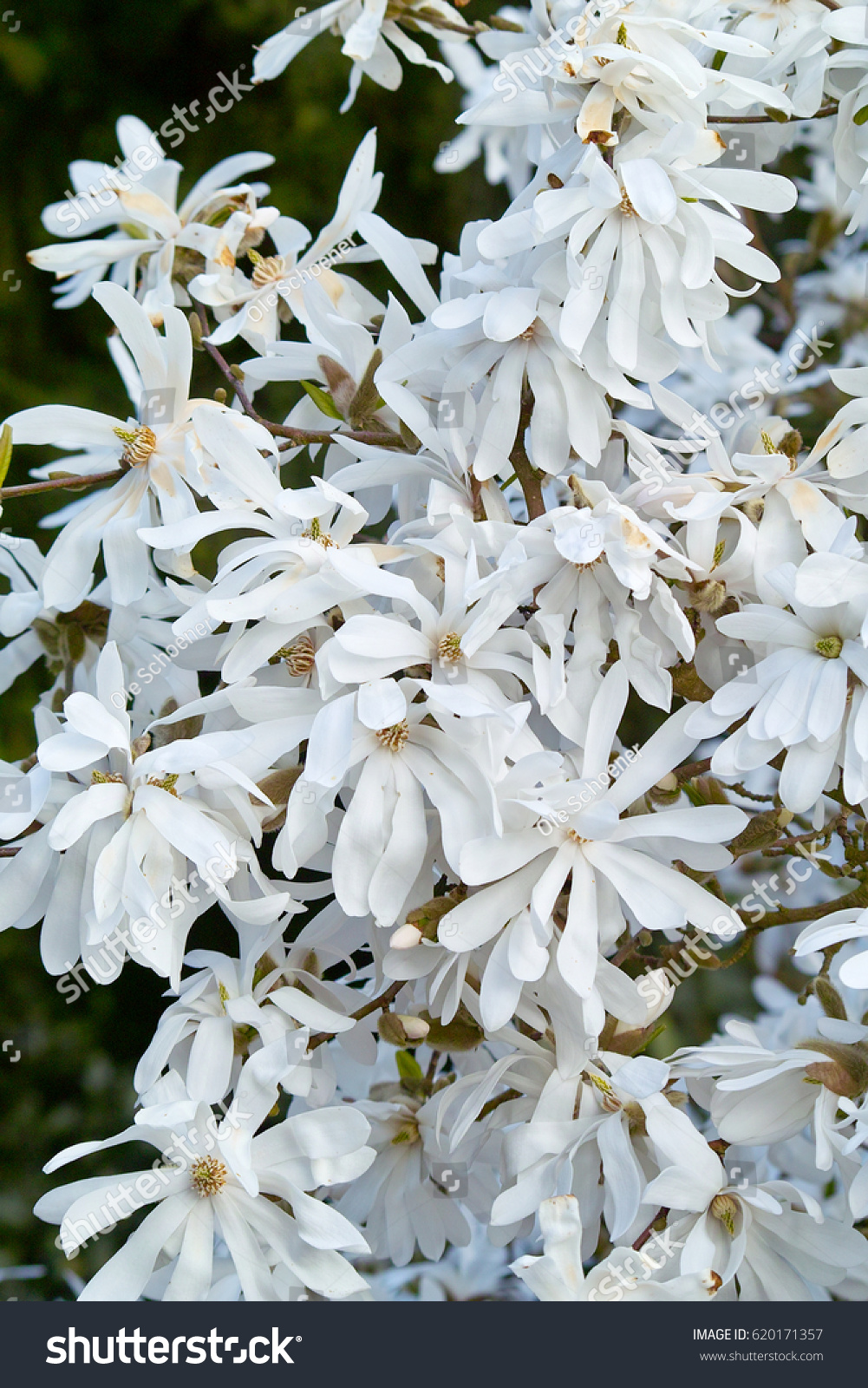 Flowers of a blooming white Star Magnolia stellata shrub in spring ...