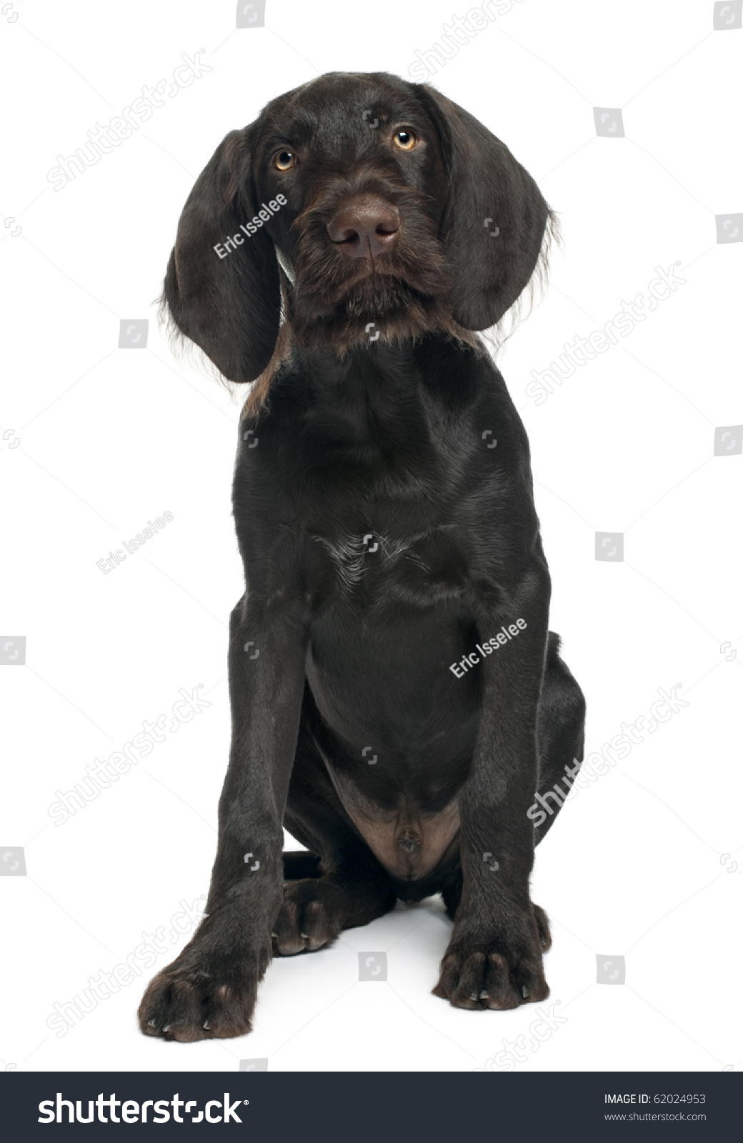 German Shorthaired Pointer Puppy 3 Months Stock Photo (Royalty Free ...
