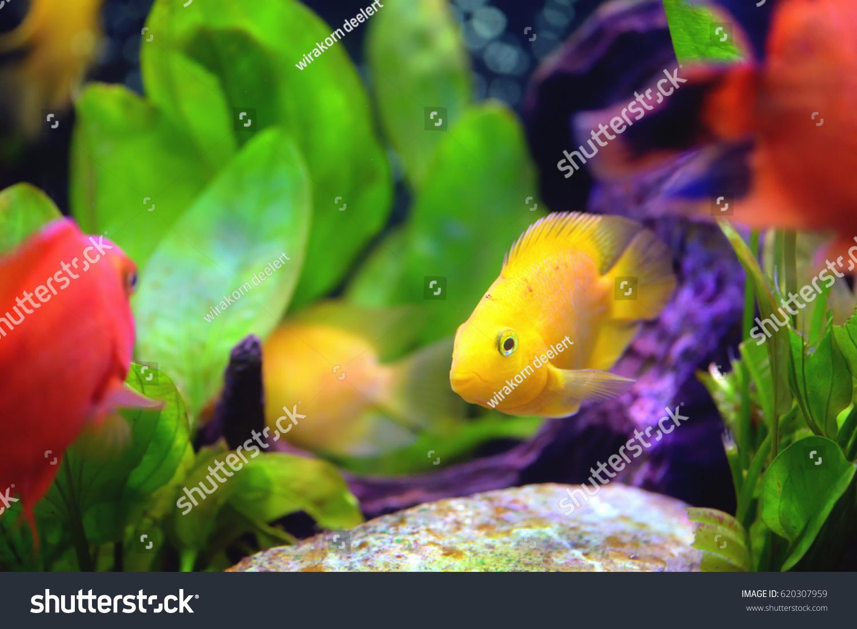 Beautiful Aquarium Blood Parrot Cichlid Stock Photo (100% Legal ...
