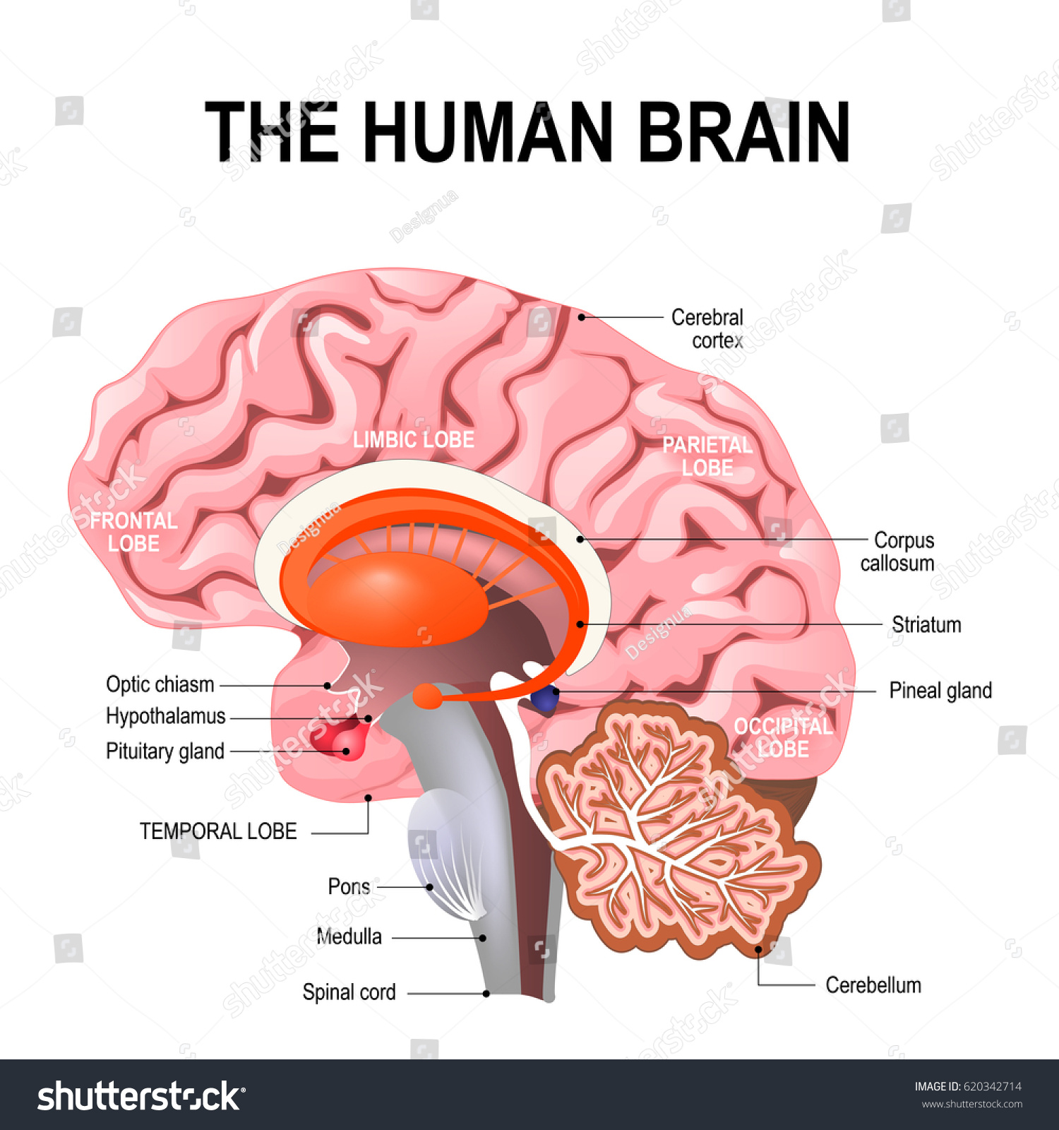 Detailed Anatomy Human Brain Illustration Showing Stock Illustration
