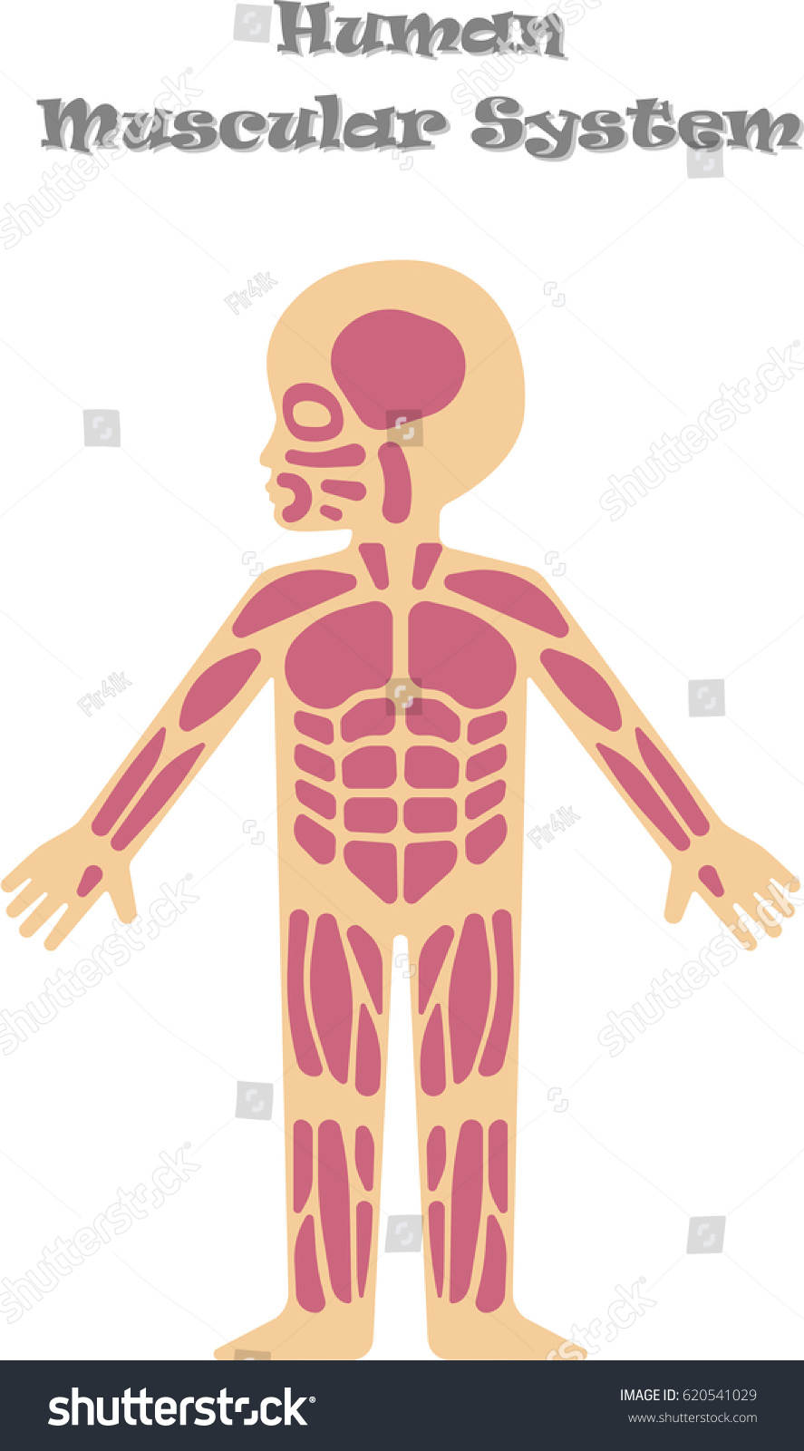Human Muscular System Kids Cartoon Illustration Stock Vector