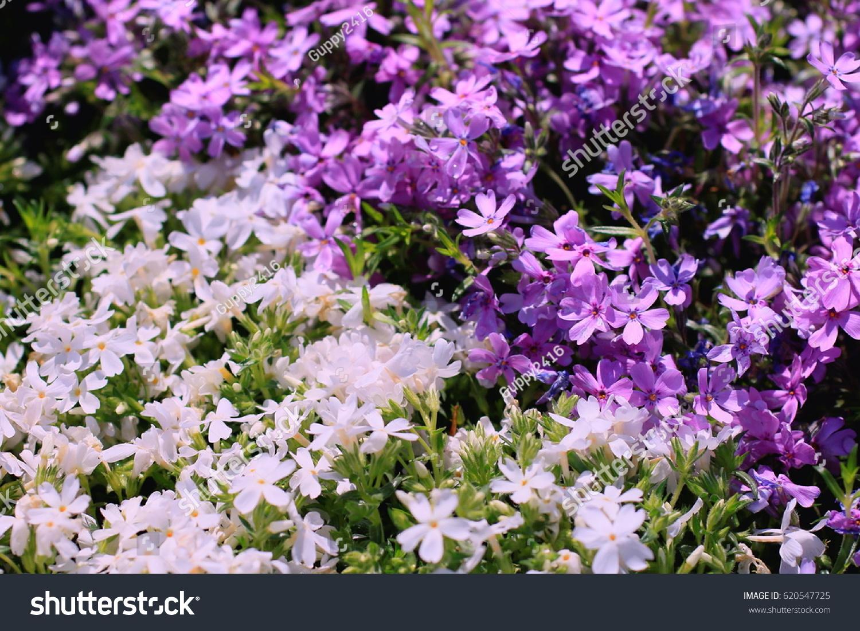 Beautiful Purple Flowers Moss Phlox Mountain Phlox Moss Pink
