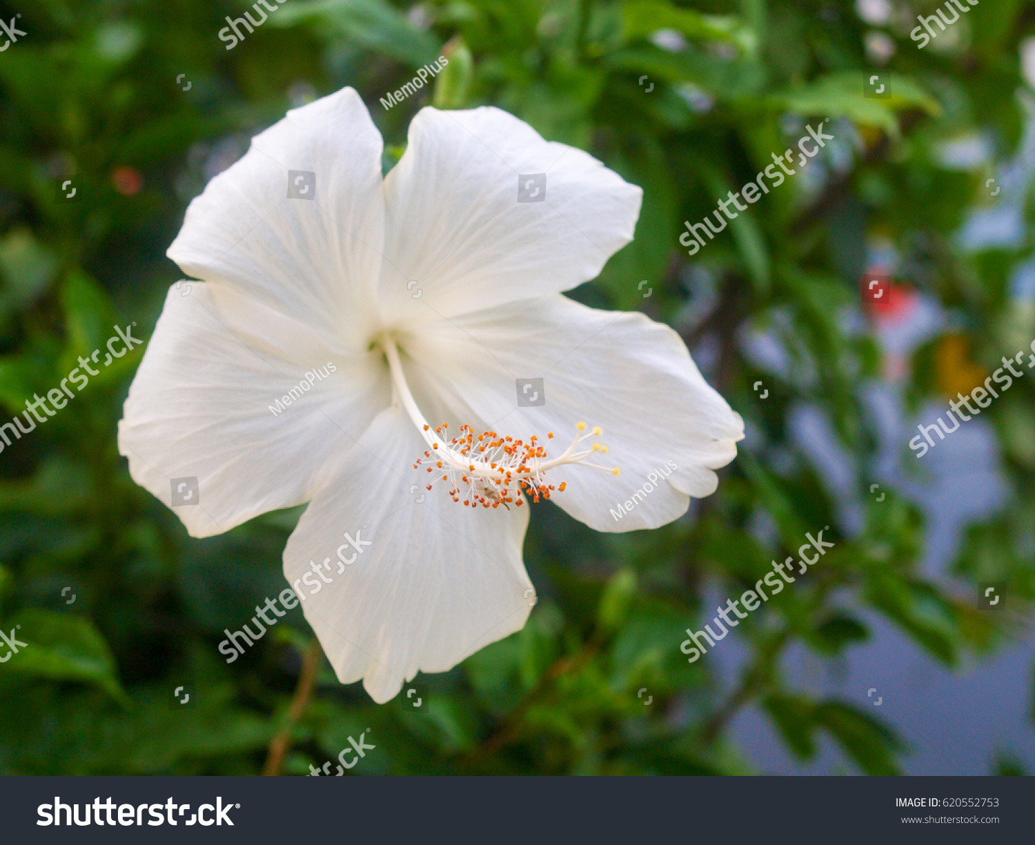 White Hibiscus Flower Blurred Background Stock Photo Edit Now
