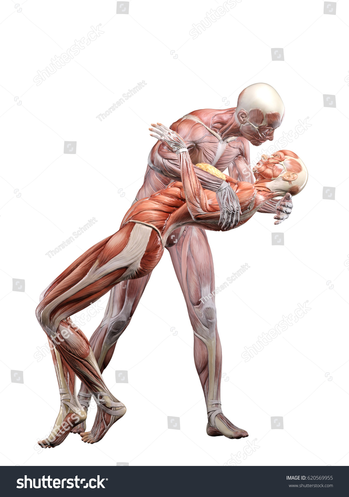 Male Muscle Anatomy Kissing Female Muscle Stock Illustration