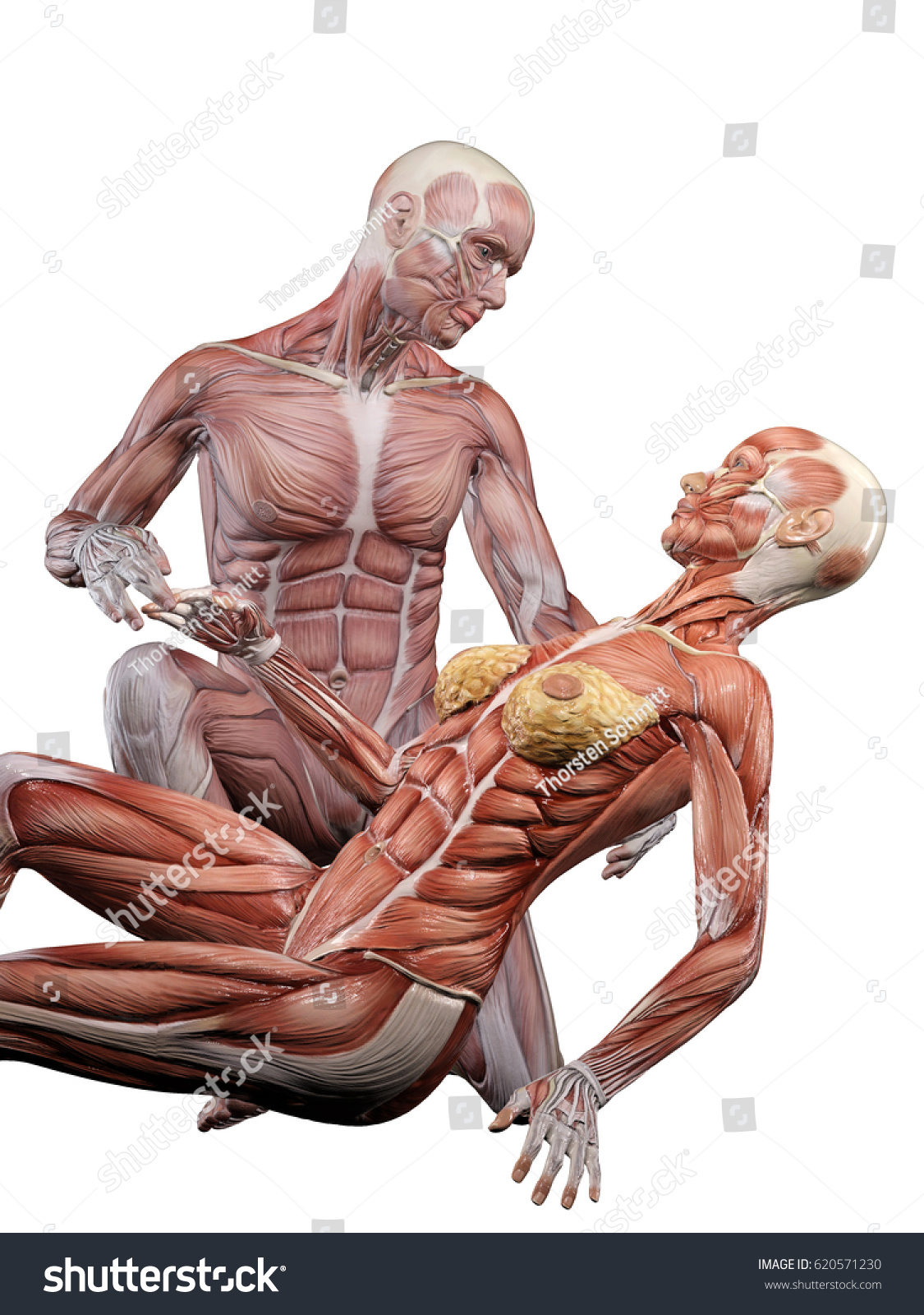 Male Muscle Anatomy Takes Care Female Stock Illustration 620571230