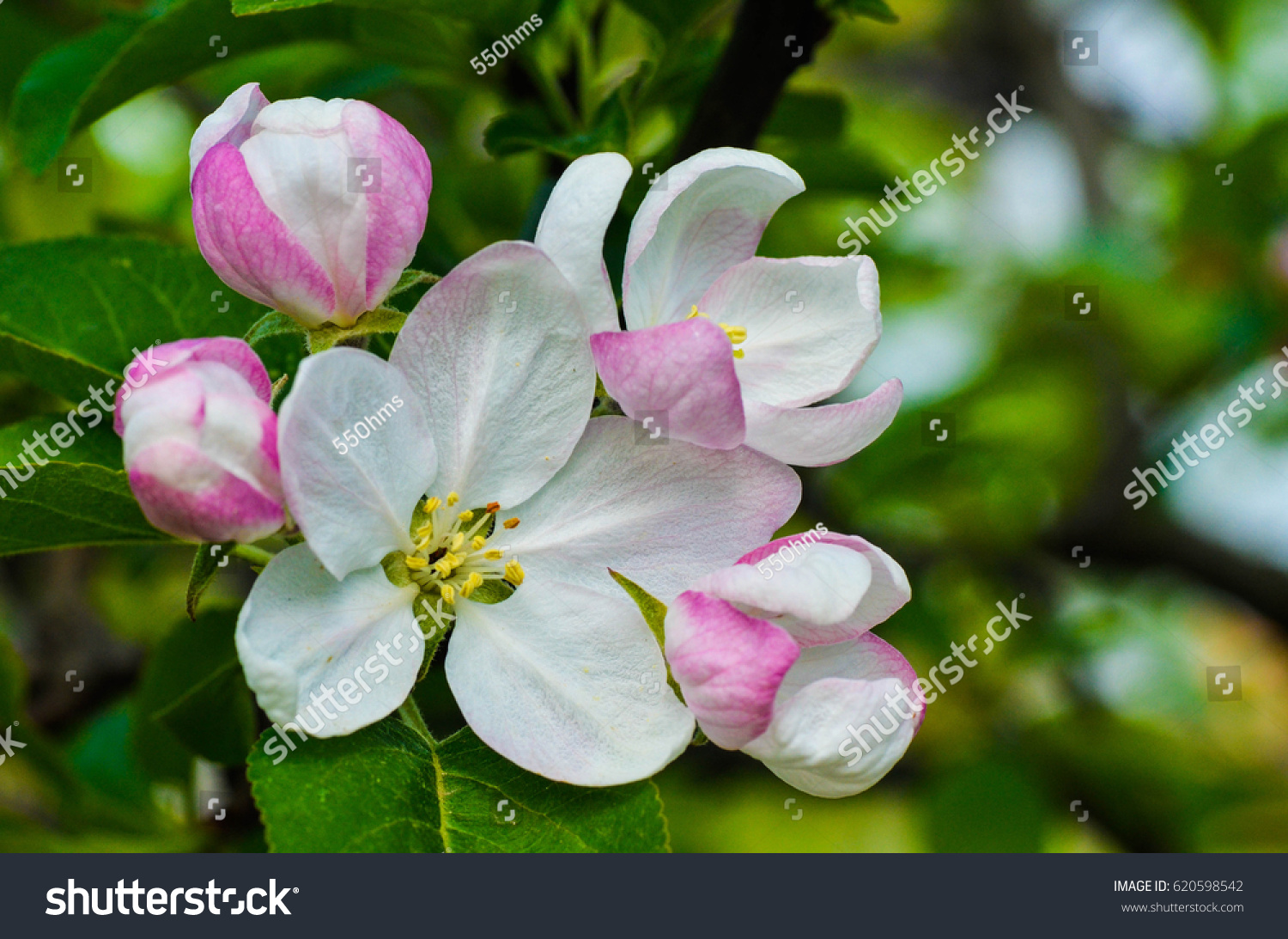 Apple Tree Pink Purple White Flowers Stock Photo Edit Now