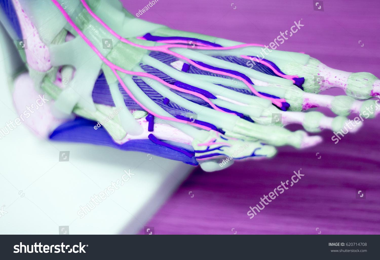 Foot Medical Study Student Anatomy Model Stock Photo (Royalty Free ...