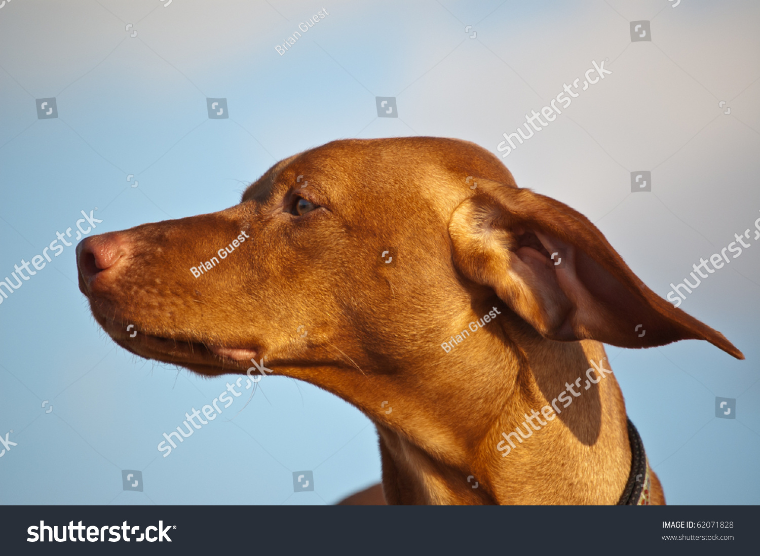 A Vizsla Dogs Ears Are Blown Back By The Wind