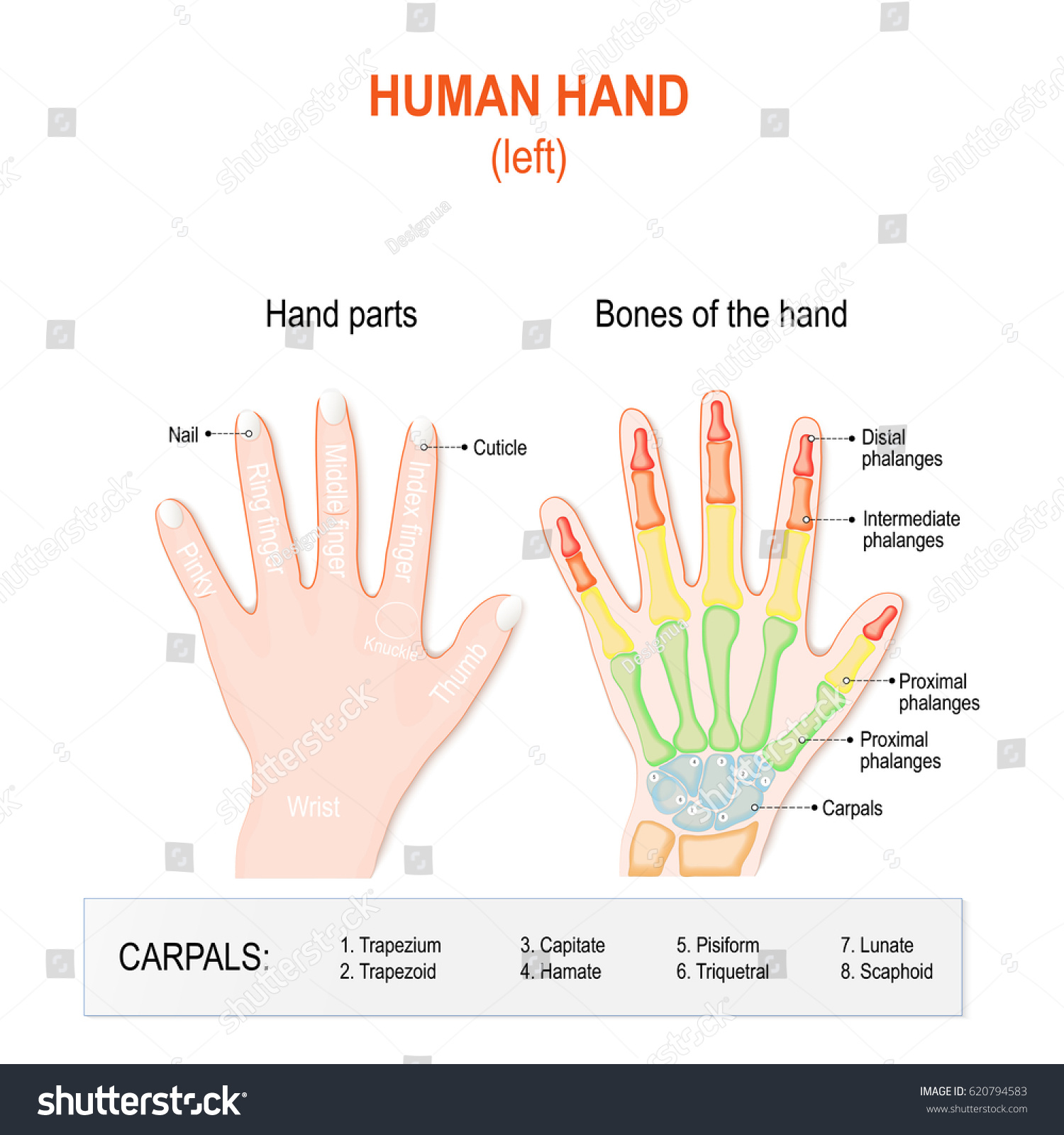 Human Hand Parts Bones Left Hand Stock Illustration 620794583 ...