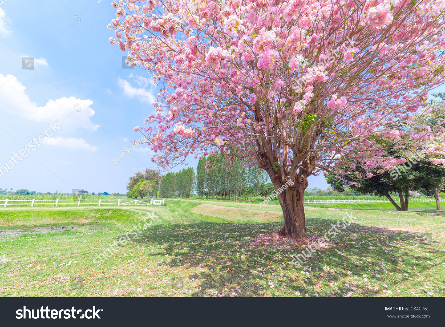 Beautiful Pink Flowers Tree Blooming Green Stock Photo Edit Now