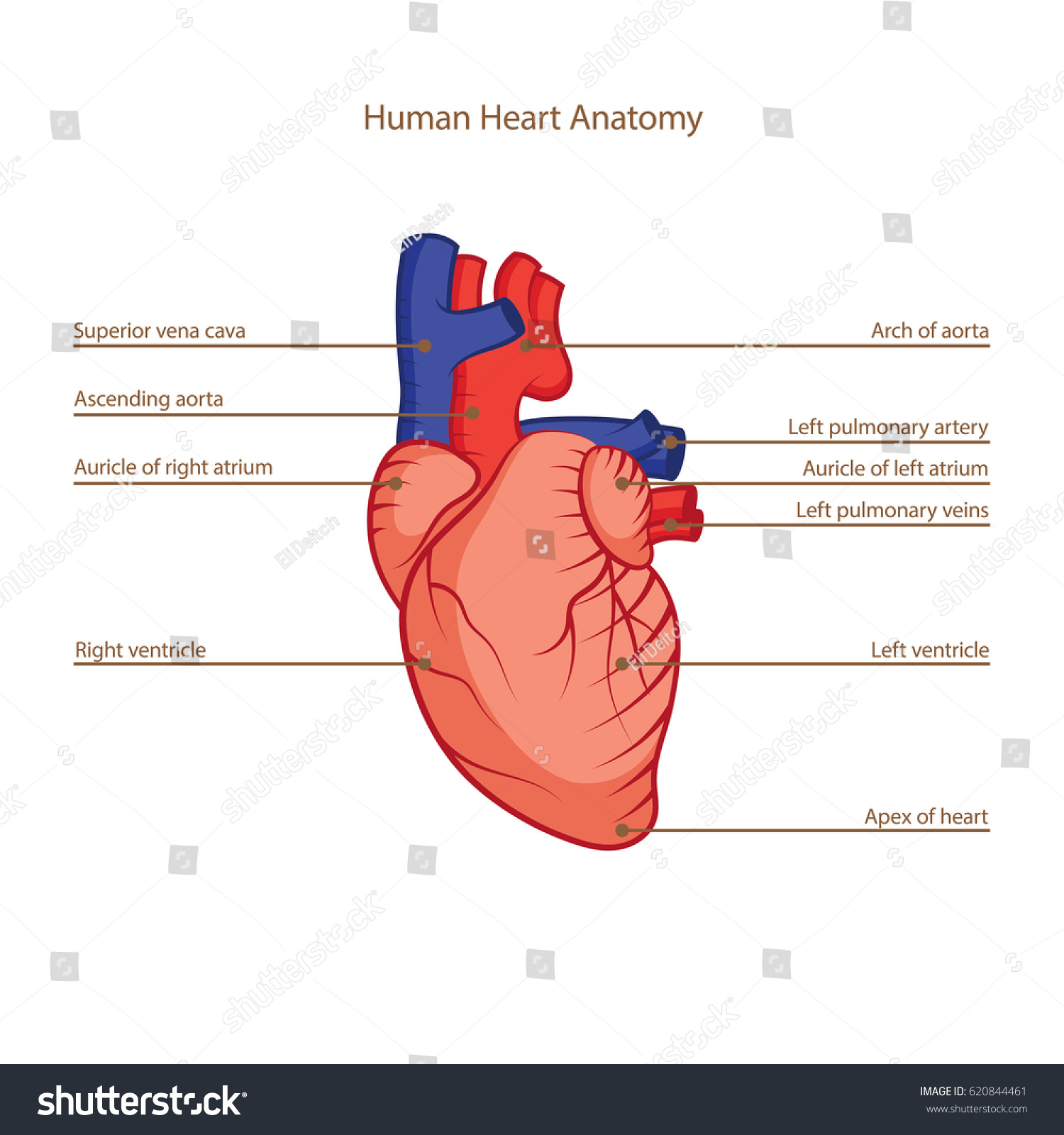 Human Heart Anatomy Illustration Stock Vector Royalty Free