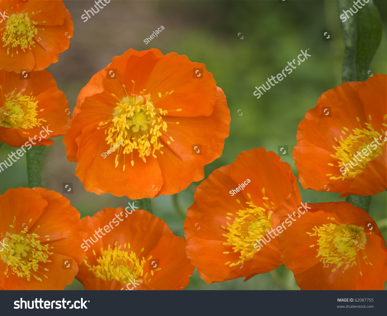 Orange Yellow Spring Flowers Iceland Poppies Stock Photo Edit Now
