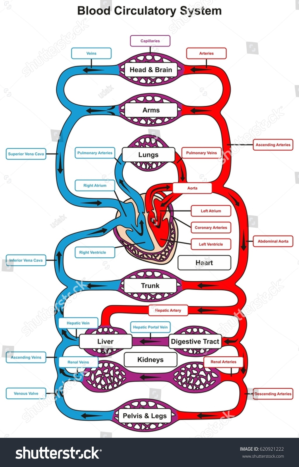 Blood circulatory system human body infographic em ilustrao stock blood circulatory system of human body infographic diagram with heart pumping to all other organs and ccuart Gallery