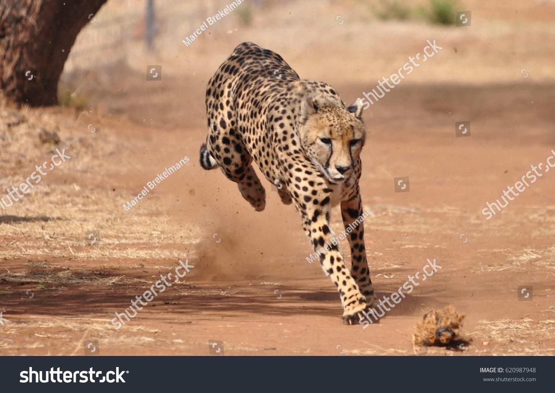 Cheetah exercising
