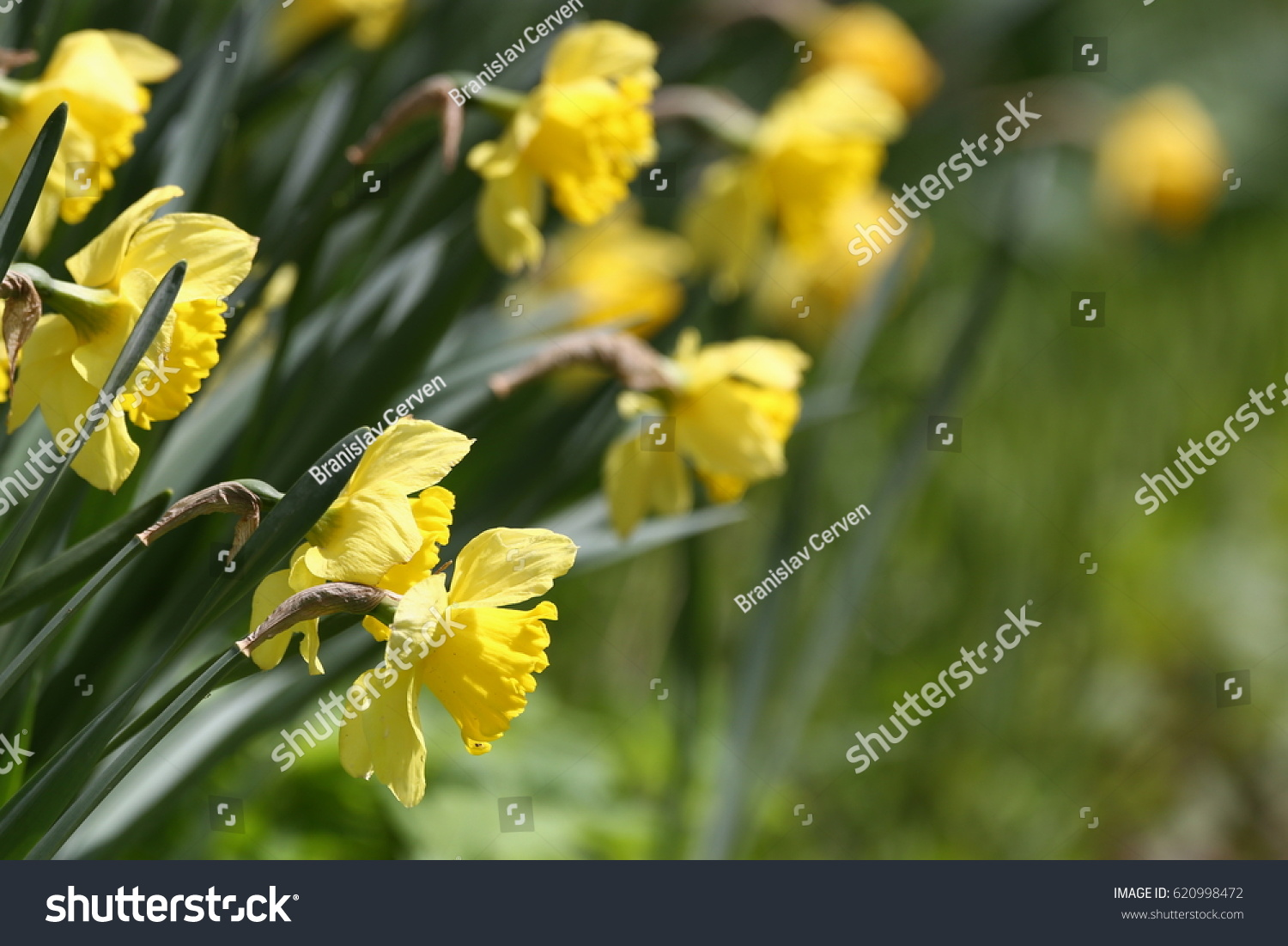 Spring Flowers Narcissus Dutch Master Beautiful Blooming Flowers