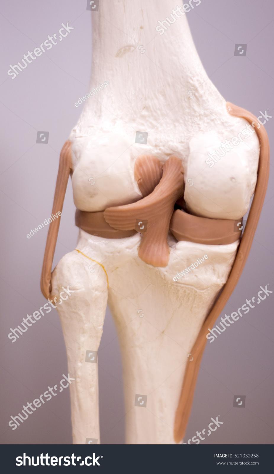 Knee Meniscus Medical Study Student Anatomy Stock Photo (Edit Now ...