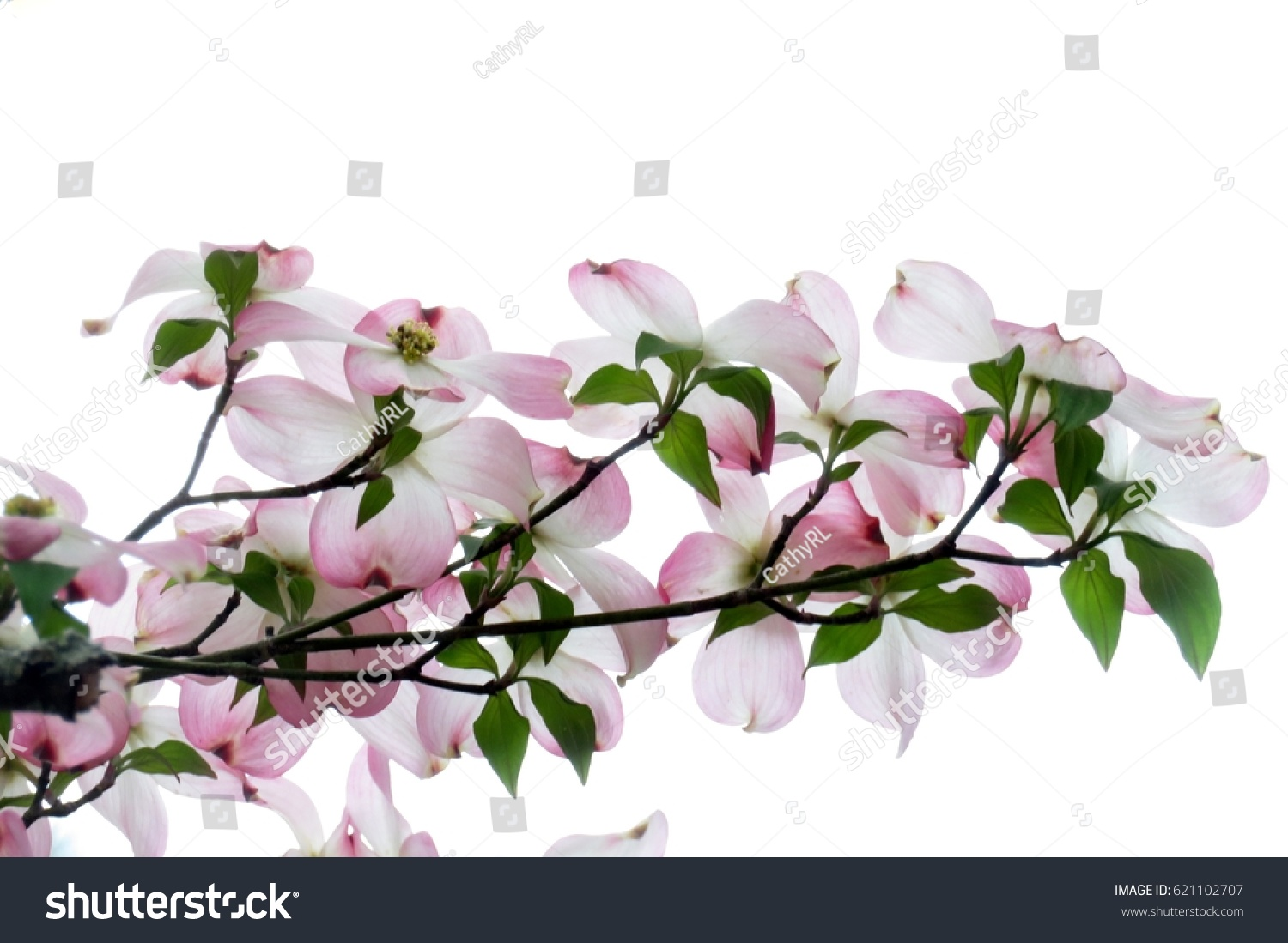 Pink Dogwood Flowers Isolated On A White Background Ez Canvas