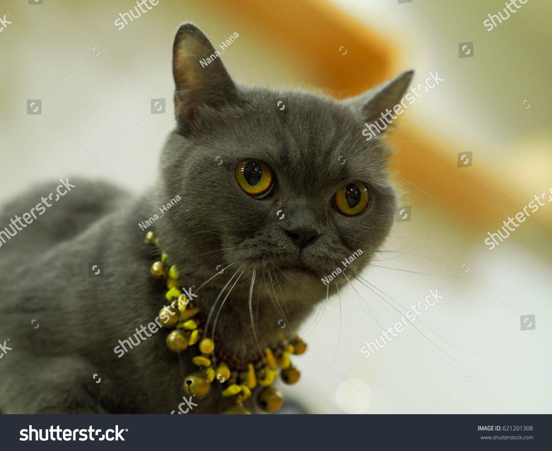 Korat Cat Slate Bluegrey Shorthaired Breed Stock