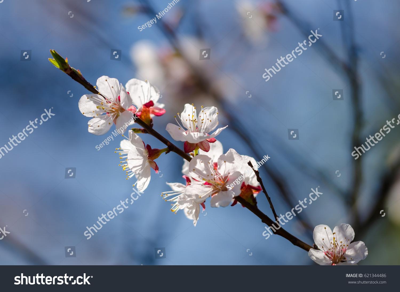 Spring Flowering Branch On Background Blue Sky Cherry Blossom