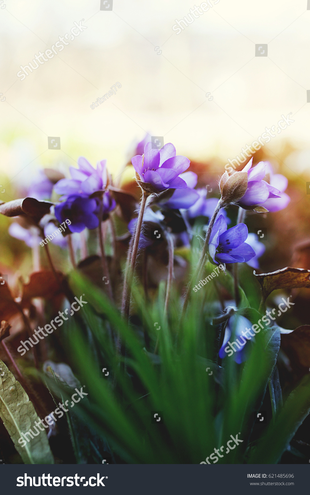 Spring image tiny blue purple spring stock photo edit now spring image of tiny blue purple spring flowers in sun haze at the end of the izmirmasajfo