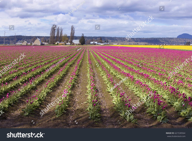 Skagit Valley Tulip Fields Bloom Washington Stock Photo 621530564 ...