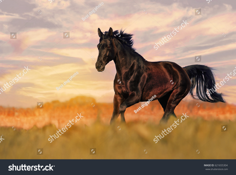 Beautiful Wild Black Stallion Galloping Freely Stock Photo Edit Now 621655304