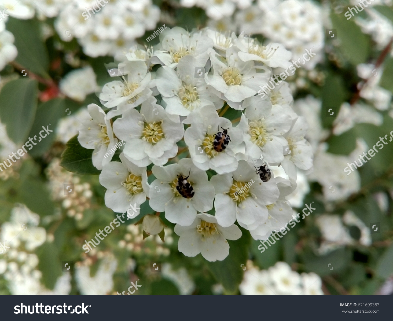 Tiny white flowers bugs stock photo edit now 621699383 shutterstock tiny white flowers with bugs mightylinksfo