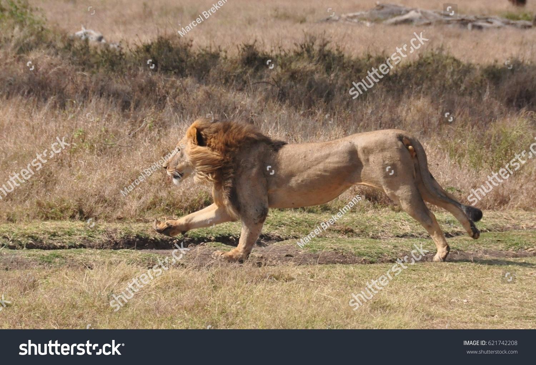Lion attacks zebra 1