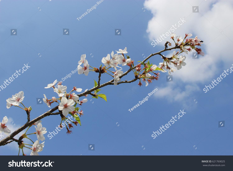 Light Pink Flowers Of Sakura Cherry Blossoms Under The Blue Sky