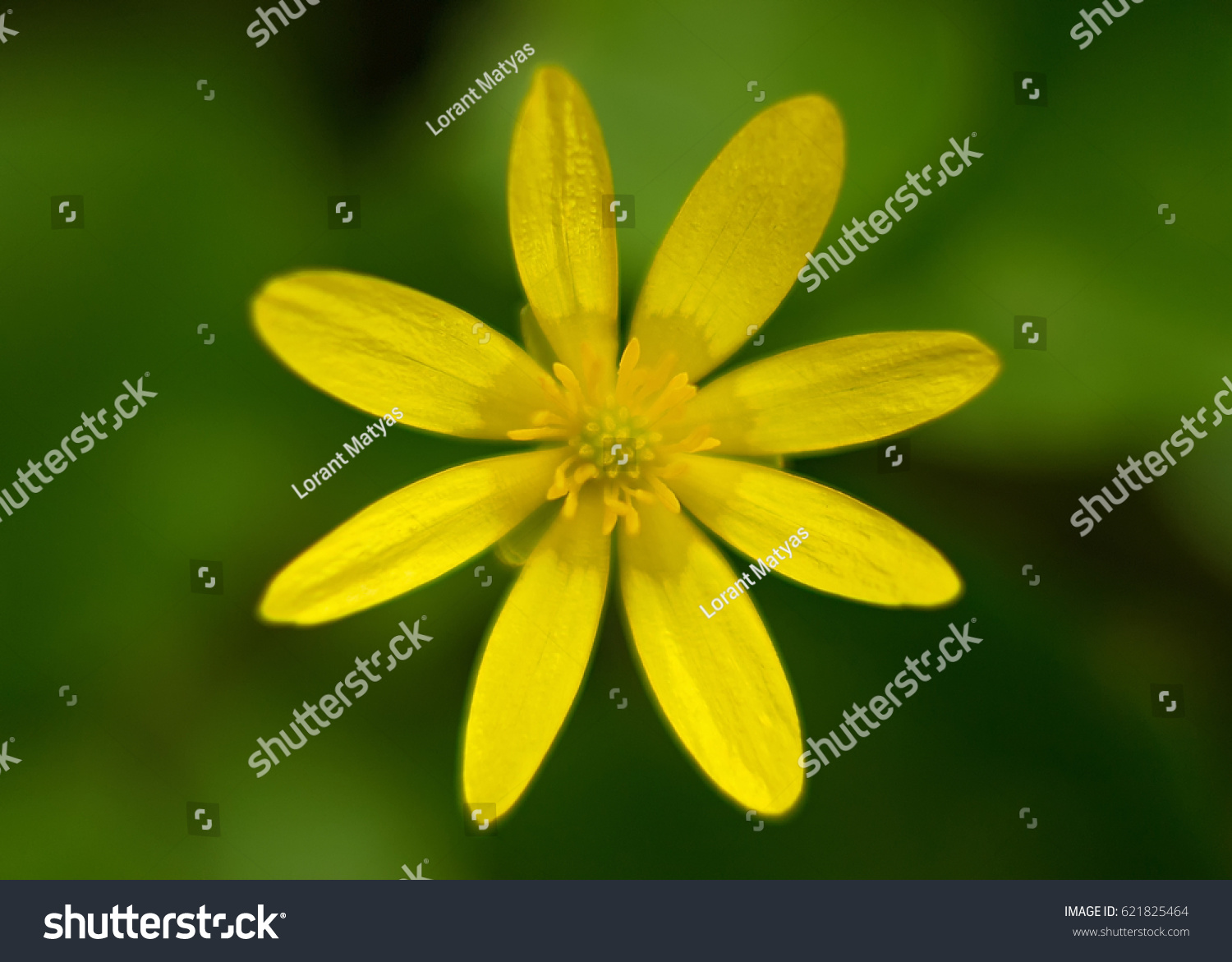 Wild Yellow Flower Blooming Soft Looking Stock Photo Edit Now
