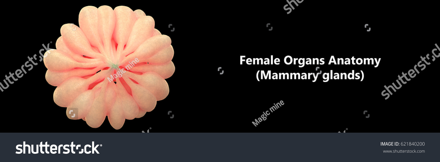 Human Female Body Organs Mammary Glands Stock Illustration 621840200