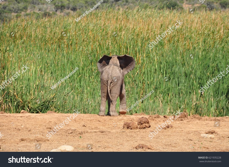 Elephant calf looking for mum
