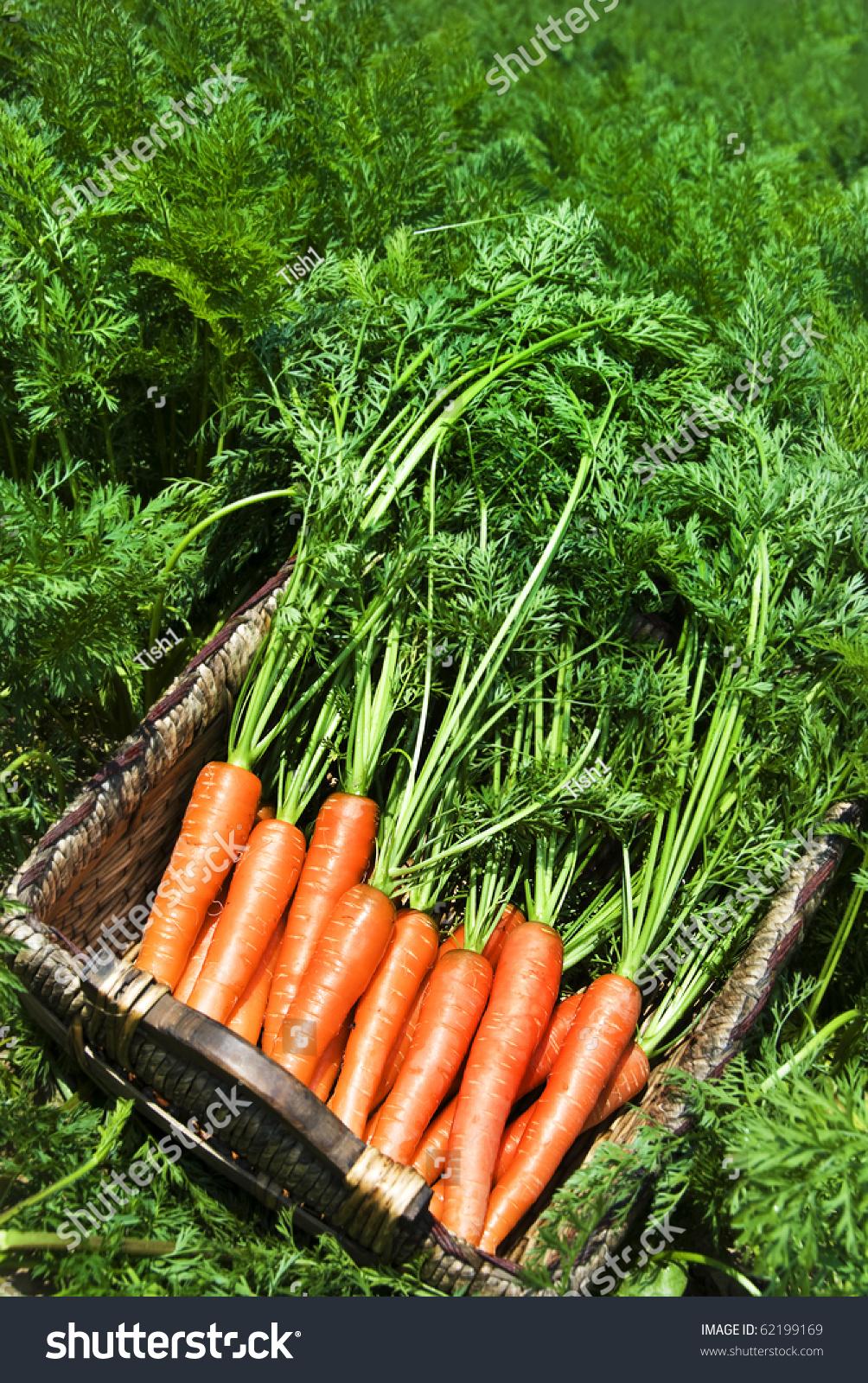 Carrot Field Stock Photo - Image: 74146478