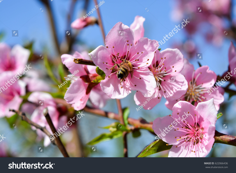 Natural Background Peach Tree Flowers Blue Sky Clouds Ez Canvas
