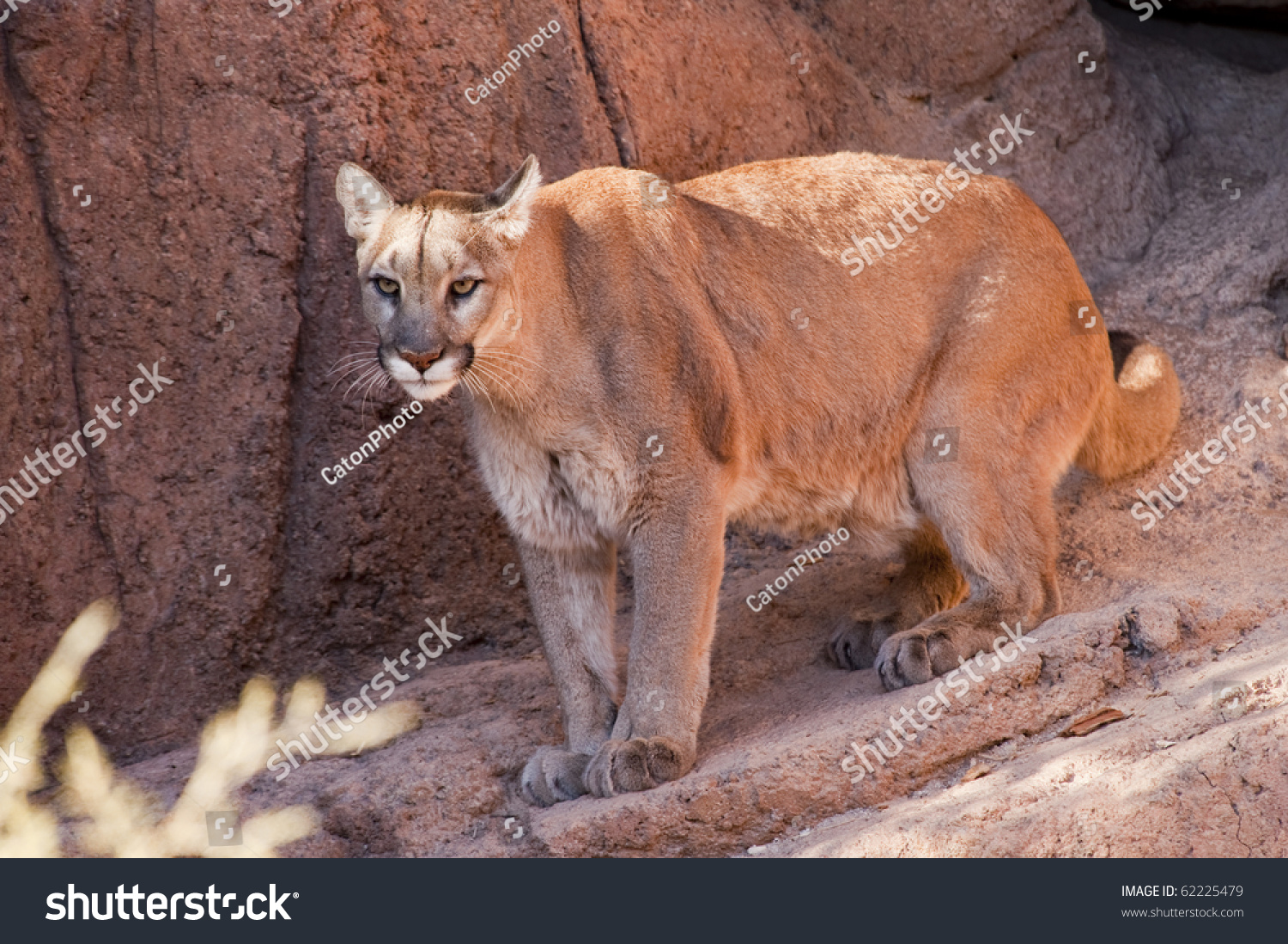 cougars in tucson