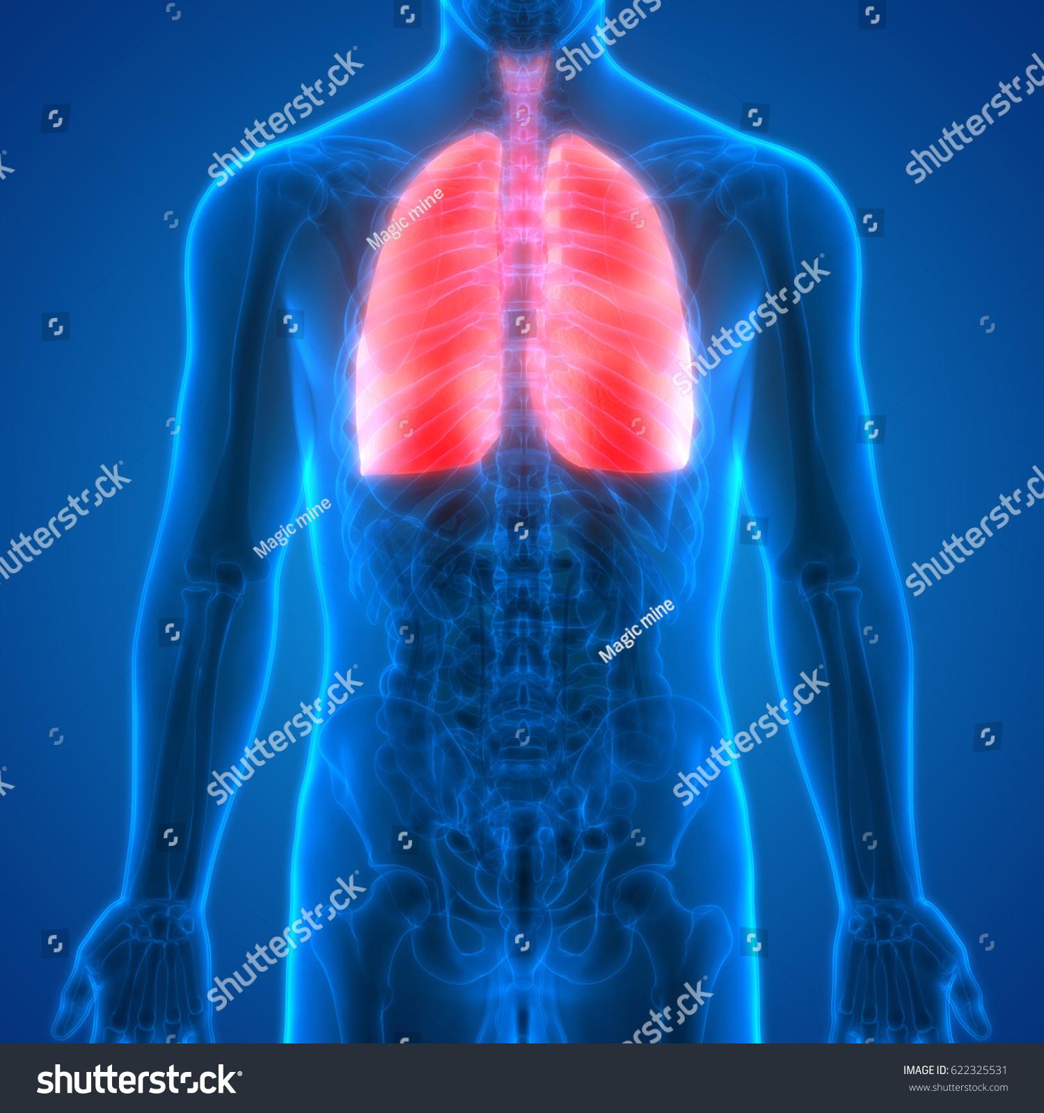 Human Body Organs Lungs Anatomy Posterior Stock Illustration