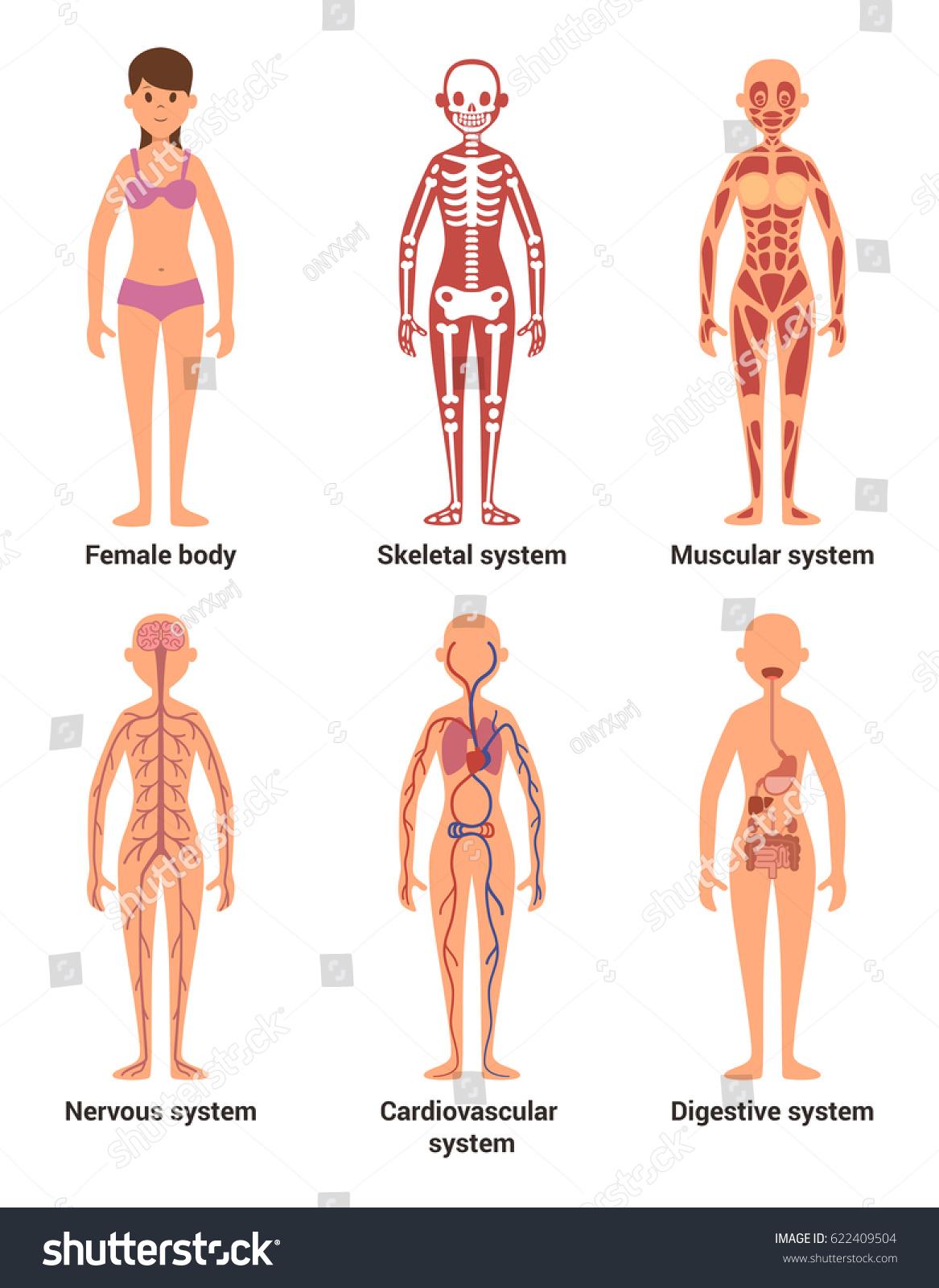 Anatomy Female Vector Illustration Nerves Muscular Stock Vector ...