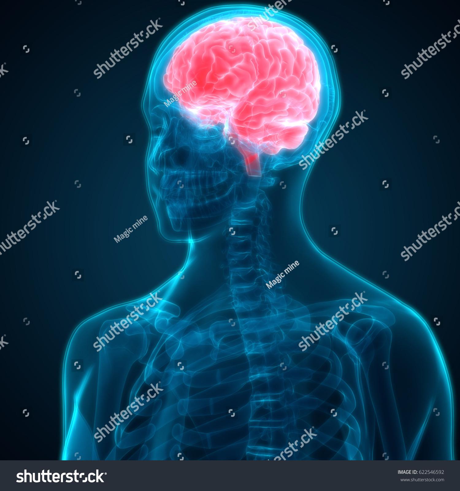 Human Brain Anatomy 3 D Stock Illustration 622546592 - Shutterstock