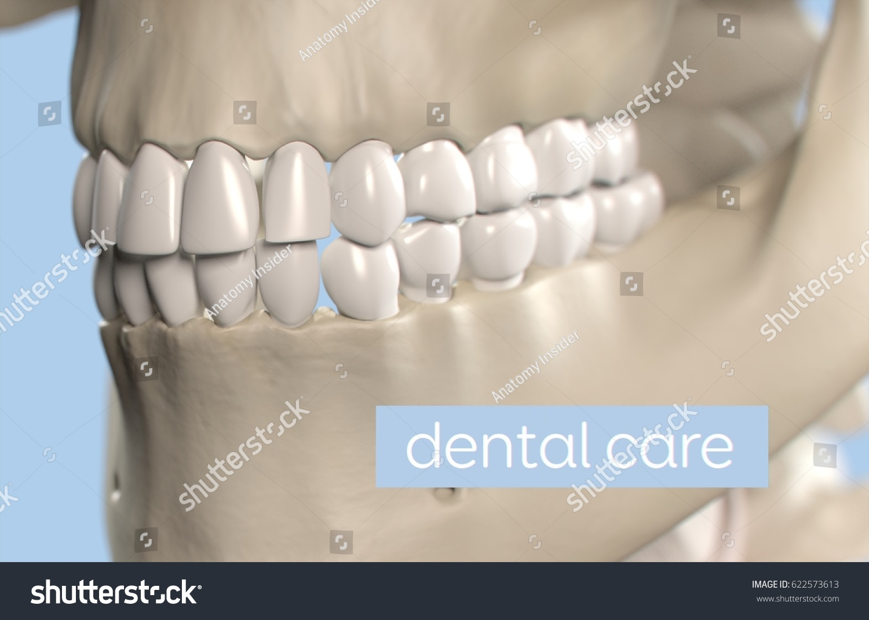 Anatomical Dental Model Human Teeth Dentistry Stock Illustration