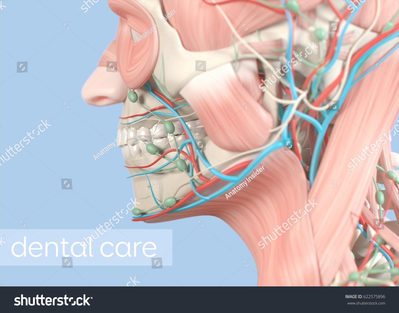 Anatomical Dental Model Human Teeth Dentistry Stock Illustration ...